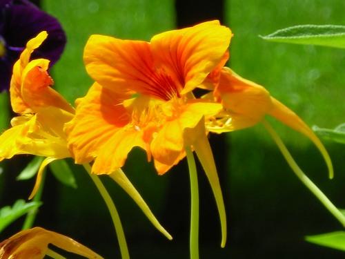 Garden-Nasturtiums